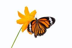 在花的黑脉金斑蝶寻找的花蜜 免版税库存图片