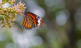 在花的黑脉金斑蝶 图库摄影