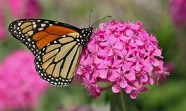 在花的黑脉金斑蝶 免版税库存照片