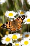 在花的黑脉金斑蝶 免版税图库摄影