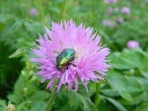 在花的绿色玫瑰色金龟子 免版税图库摄影