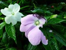 在花的绿色甲虫 免版税库存照片