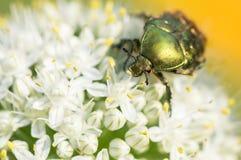 在花的绿色甲虫brantovka特写镜头 选择聚焦 免版税库存图片