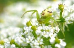 在花的绿色蜘蛛 免版税图库摄影