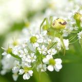 在花的绿色蜘蛛 免版税库存照片