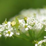在花的绿色蜘蛛 免版税库存图片