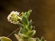 在花的绿色螳螂在棕色背景 库存照片
