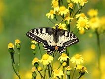 在花的蝴蝶。 库存照片