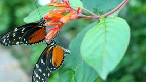 在花的蝴蝶吃花蜜的 免版税库存图片