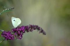 在花的蝴蝶在庭院里 免版税图库摄影