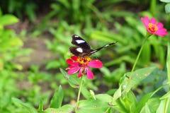 在花的蝴蝶定居 免版税库存图片