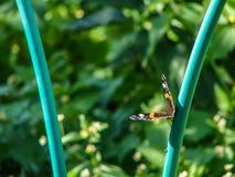 在花的蝴蝶荨麻疹 免版税库存照片