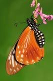 在花, chilasa agestor的蝴蝶 库存照片
