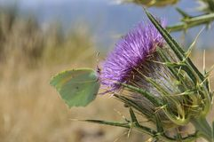 在花的蝴蝶 免版税图库摄影