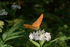 在花的蝴蝶 库存图片