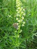 在花的Batterfly 库存图片
