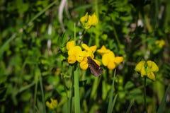 在花的Buttefly 免版税库存照片