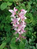 在花的Dictamnus albus 库存图片