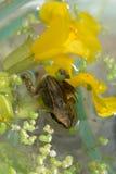 在花的Froglet 图库摄影