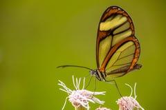 在花的Glasswing蝴蝶 免版税图库摄影