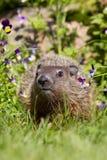 在花的Groundhog 库存图片