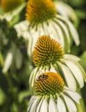 在花的Hoverflies 图库摄影