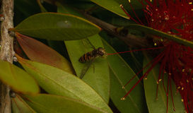 在花的Hoverfly 免版税图库摄影