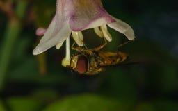 在花的Hoverfly 图库摄影