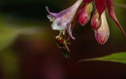 在花的Hoverfly 免版税库存照片