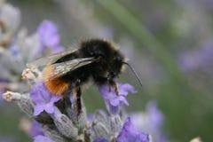 在花的Marco土蜂 免版税库存照片