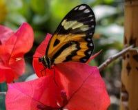 在花的Mechanitis polymnia侧视图 免版税库存图片