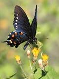 在花的Pipevine Swallowtail蝴蝶 免版税库存照片