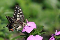 在花的Swallowtail蝴蝶 库存照片