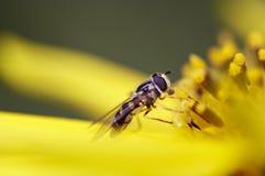 在花的Syrphid飞行 库存照片