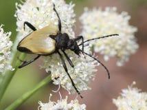 在花的Tan长有角的甲虫 库存照片