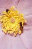 在花的Toxomerus Hoverfly 库存照片