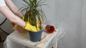 在花盆在家种植的妇女龙血树 影视素材