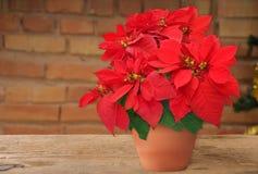 在花盆的一品红 免版税库存照片