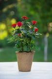 在花盆的一朵红色玫瑰 在一张桌上的活花在被弄脏的绿色背景 库存照片
