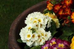 在花盆的一朵美妙的白色紫罗兰 库存图片