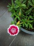 在花盆的一朵花 库存图片