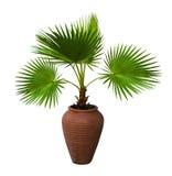 在花盆的一棵棕榈树 Pam树Livistona Rotundifolia 免版税库存照片