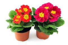 在花盆的两朵红色桃红色报春花在被隔绝的背景 库存图片