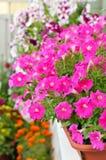 在花盆的喇叭花花在阳台 库存图片
