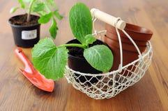 在花盆的夏南瓜幼木与篮子和庭院铲起 免版税图库摄影