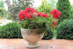 在花盆的大竺葵花 图库摄影