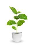 在花盆的小绿色幼木被隔绝在白色 库存图片