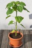 在花盆的年轻向日葵 库存照片