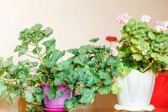 在花盆的开花的大竺葵在桌上 库存照片