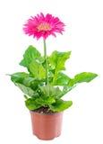 在花盆的开花的桃红色花大丁草在白色被隔绝 免版税库存图片